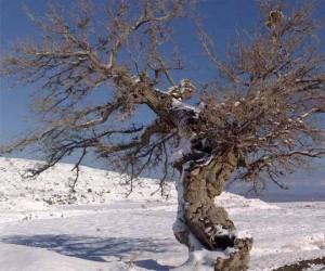 درخت توت آریان